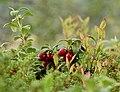 Abuluntu Vaccinium vitis-idaea.jpg