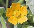Abutilon theophrasti petals.jpg