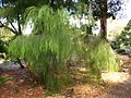 Acacia cognata (ANBG).JPG