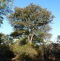 Acacia nigrescens, habitus, Steenbokpan, c.jpg