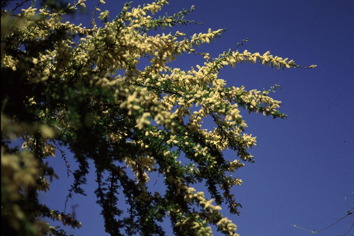 What Is Ppm >> Vachellia rigidula - Wikipedia