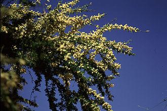 Vachellia rigidula - Image: Acacia rigidula