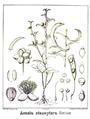 Acacia stenoptera.PNG