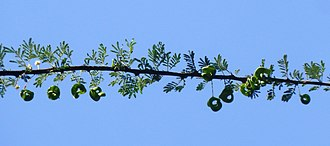 Vachellia tortilis - The pods are curled