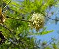Acaciaberlandieri.jpg