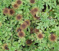 Acaena anserinifolia 3 ies