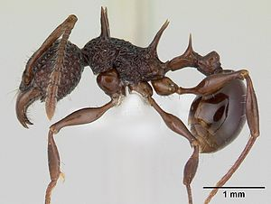 Petiole (insect anatomy) - This Acanthomyrmex ant has a petiole and postpetiole