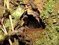 Acanthoscurria gomesiana burrow.jpg