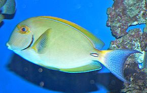 Description de l'image Acanthurus dussumieri 1.jpg.
