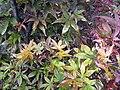 Acer palmatum Twombly Red Sentinel 2zz.jpg