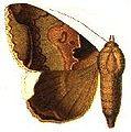 Achaea indicabilis.JPG
