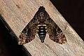 Acherontia lachesis (Sphingidae) (5714428230).jpg