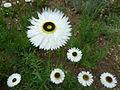 Acroclinium roseum 'Peirrot' (Compositae) flowers.JPG