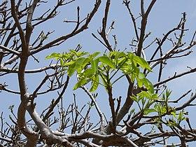 Adansonia digitata 0002.jpg