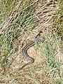 Adder in the ruins of the Spital Cottage. - geograph.org.uk - 417560.jpg
