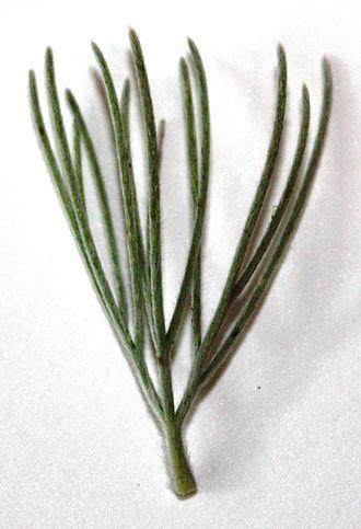 Adenanthos sericeus - Image: Adenanthos sericeus leaf