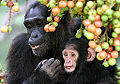 Adult female and infant wild chimpanzees feeding on Ficus sur.jpeg
