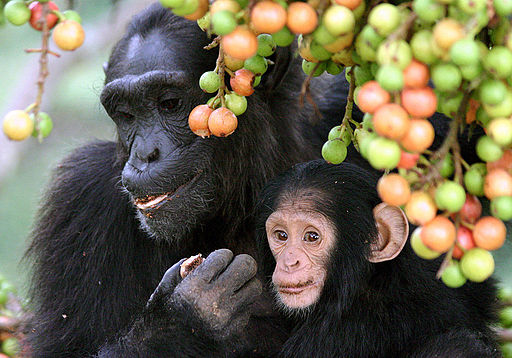 Adult female and infant wild chimpanzees feeding on Ficus sur