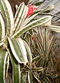 Aechmea orlandiana Ensign BotGardBln271207D.jpg