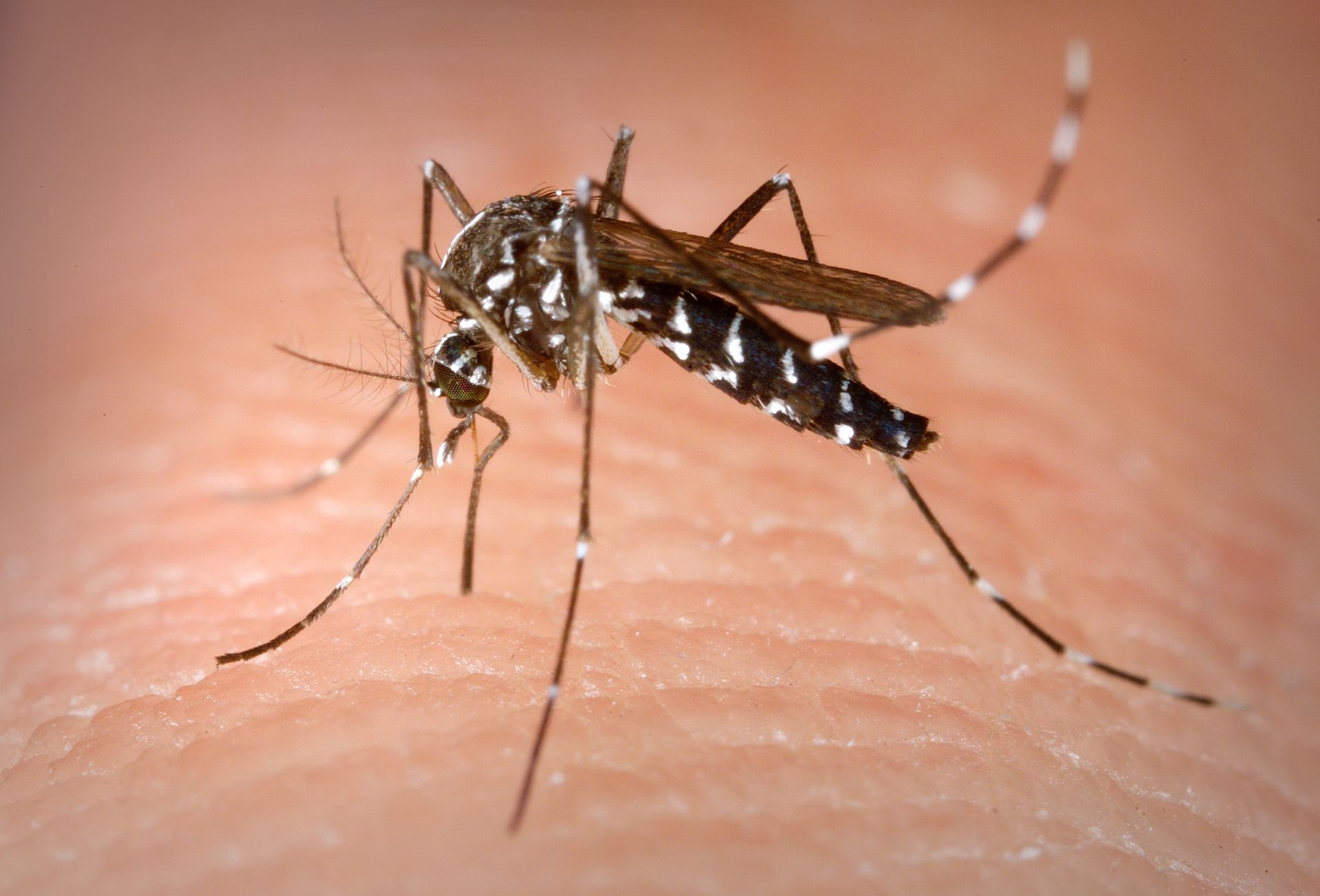 Image shows an Aedes albopictus mosquito preparing to bite a human