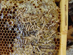 Aethina tumida Host: honey bee Apis mellifera ...