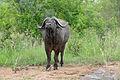 African Buffalo (Syncerus caffer) (16437708316).jpg