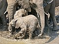 African Elephant (Loxodonta africana) calf playing in the mud ... (32307884936).jpg
