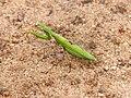 African Green Mantis (Sphodromantis gastrica) (12908538825).jpg
