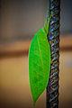 African Katydid-1.jpg