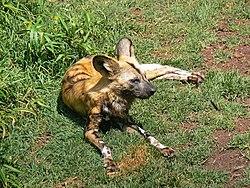 الكلب ألأفريقى ( كلب ولكن لايربى ) 250px-African_Wild_dog444