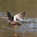 African black duck today (36377220552).jpg