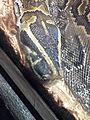 African rock python (Python sebae sebae) at Jacksonville Zoo.jpg