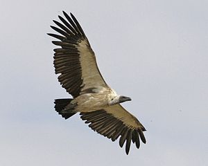 African white-backed vulture (Gyps africanus) flight - Flickr - Lip Kee.jpg