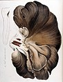 Agaricus ostreatus — Flora Batava — Volume v10.jpg