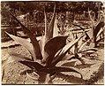 Agave du Mexique MET DP124785.jpg