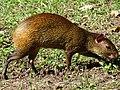 Agouti (Hamsterlike Rodent) - Campo de Santana - Centro - Rio de Janeiro - Brazil (17471283381).jpg