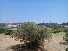 Coltivazione di alberi d'oliva a Catanzaro