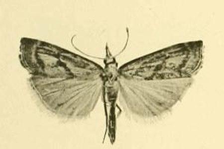 Agriphila brioniellus