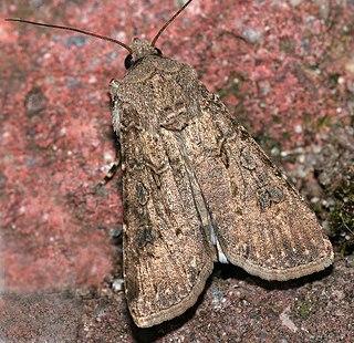 Turnip moth Species of moth
