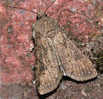 Turnip moth - Adult moth
