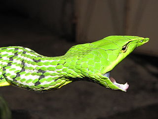 Green Vine Snake Threat Display
