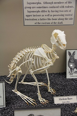 Lagomorpha - Skeletal system of Alaskan Hare (Museum of Osteology)