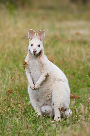 Red-necked wallaby - A population of albino Bennett's wallabies live on Bruny Island