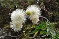 Albizia - Acharya Jagadish Chandra Bose Indian Botanic Garden - Howrah 2011-02-20 1625.JPG