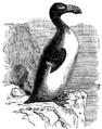 Alca impennis, Nordisk familjebok.png