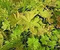 Alchemilla acutiloba leaf (13).jpg
