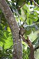 Allenia fusca in Coulibistrie-a08.jpg