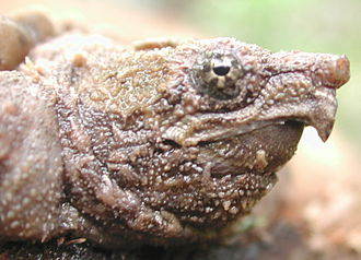 Alligator snapping turtle - Head of a young alligator snapping turtle