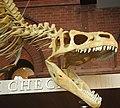 Allosaurus atrox theropod dinosaur (Morrison Formation, Upper Jurassic; Cleveland-Lloyd Quarry, northern Emery County, east-central Utah, USA) 2 (15188905480).jpg