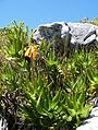 Aloe commixta - cape peninsula aloe - Kommetjie - Cape Town 8.jpg